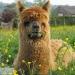 Плед INCALPACA-51 55% шерсть альпака, 45% шерсть мериноса арт. РР-51